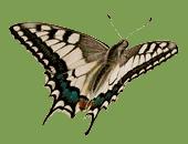 Entwicklung Schmetterling fliegt mit Flügel geöffnet
