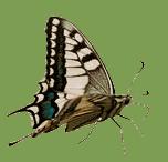Entwicklung Schmetterling fliegt mit Flügel geschlossen